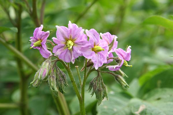 ジャガイモの花 2種_c0048494_18555611.jpg