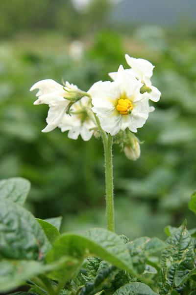ジャガイモの花 2種_c0048494_1856156.jpg