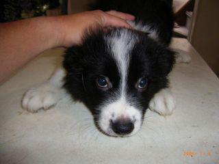 ボーダーコリーの子犬譲ります_d0000145_13273914.jpg