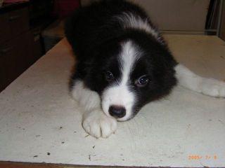 ボーダーコリーの子犬譲ります_d0000145_13284023.jpg