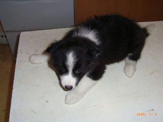 ボーダーコリーの子犬譲ります_d0000145_13285414.jpg