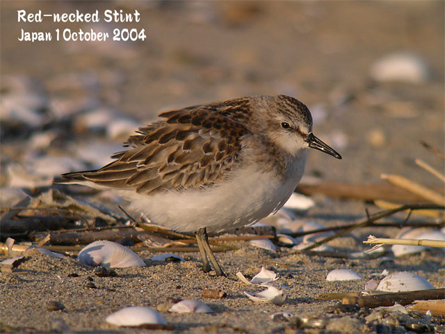 トウネン2 Red-necked Stint 2_c0071489_22283925.jpg