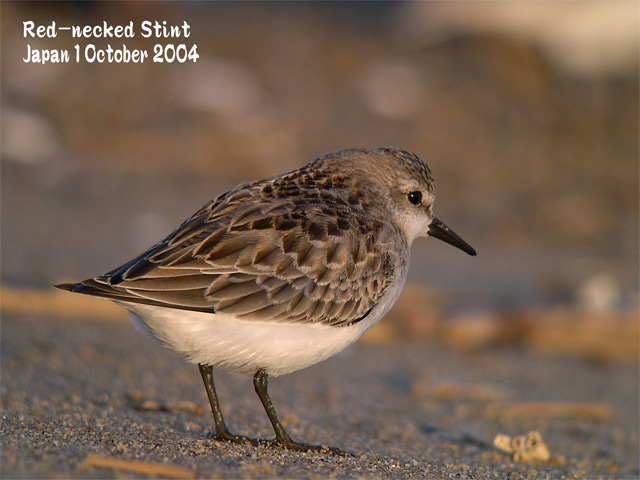 トウネン2 Red-necked Stint 2_c0071489_22291046.jpg