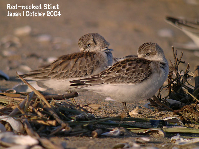 トウネン2 Red-necked Stint 2_c0071489_22302270.jpg