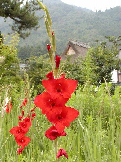 かやぶきの里に咲く花_c0057390_23583914.jpg