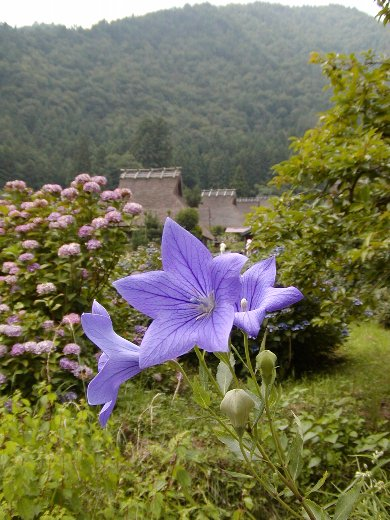 かやぶきの里に咲く花_c0057390_23585281.jpg