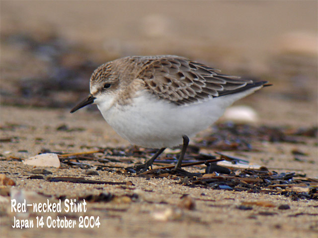 トウネン2 Red-necked Stint 2_c0071489_11444085.jpg