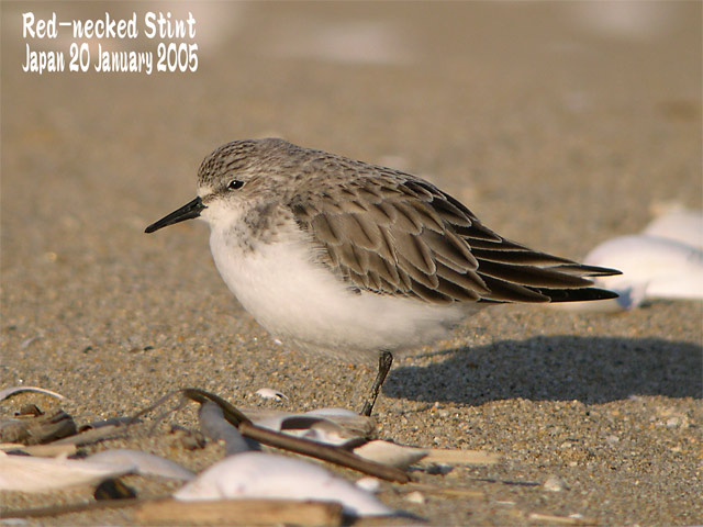 トウネン3 Red-necked Stint 3_c0071489_21315359.jpg