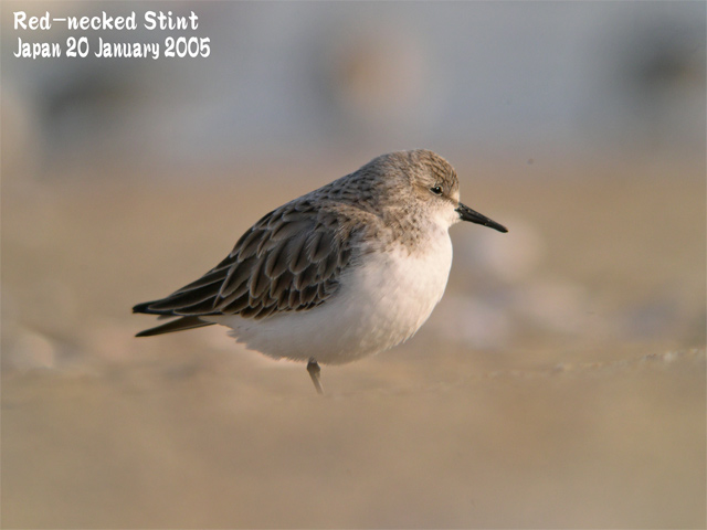トウネン3 Red-necked Stint 3_c0071489_21321139.jpg