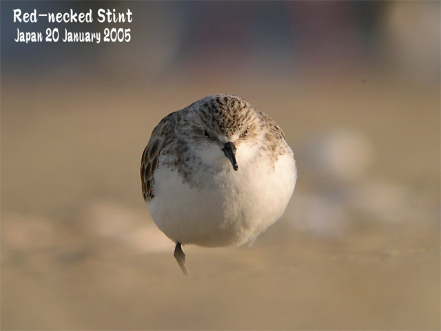 トウネン3 Red-necked Stint 3_c0071489_2132221.jpg