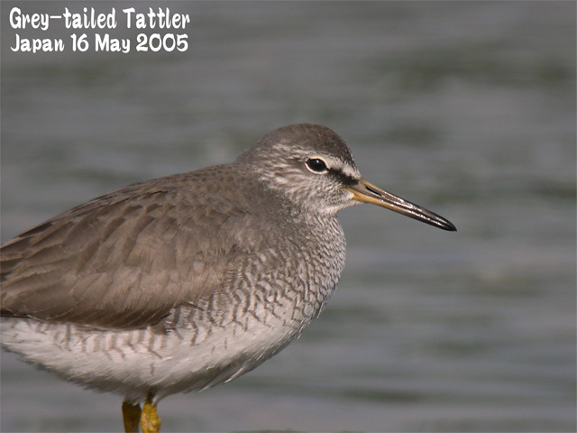 キアシシギ 1      Grey-tailed Tattler 1_c0071489_126170.jpg