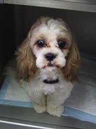 犬種あてクイズ_b0059154_192139.jpg