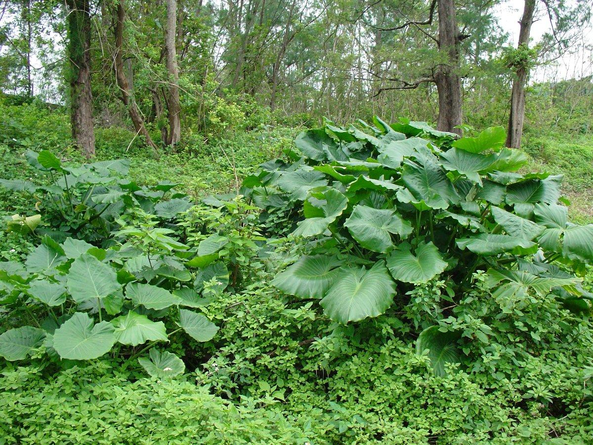 与論島の気候は亜熱帯気候です。そのせいか、島のあちこちに亜熱帯植物が群生... 我が魂の島ヨロン