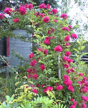 庭のバラ_e0031445_12202881.jpg