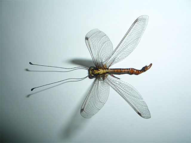 変わったトンボ?の様な虫を発見しました!_b0025008_22442471.jpg