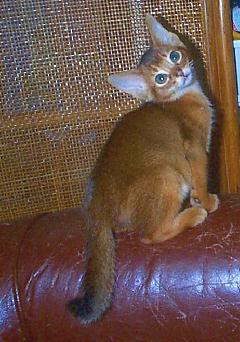 アビシニアン子猫_e0033609_15525075.jpg