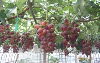 新品種のぶどう〈ベニバラード〉の糖度が19度になってます。_d0026905_20274293.jpg