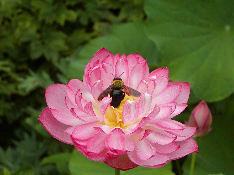 2005年度の蓮の花の取材_c0059854_115997.jpg