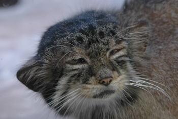 獅猫 -愛玩専用の猫-_e0023828_14203561.jpg