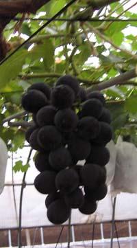 新品種『ベニバラード』・『新ピオーネ』の現在の様子です。。_d0026905_12465743.jpg