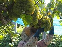 シャルドネの収穫続く…。_b0066067_2228745.jpg