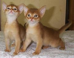 アビシニアン子猫誕生_e0033609_13352437.jpg