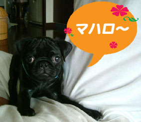 ★パグ!パグ!黒パグ!MAHLOくん★_c0070714_16145840.jpg