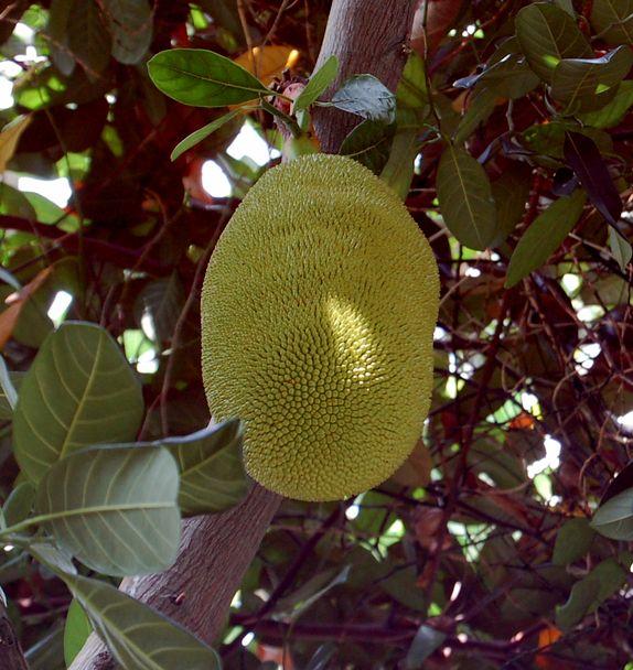 地上最大の果物_e0053660_8234942.jpg