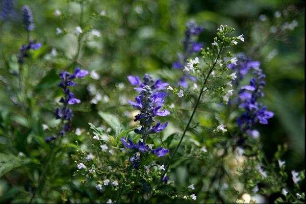夏の季節に、青い花。_b0022268_2158317.jpg