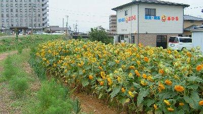 ひまわり_e0065084_21143089.jpg