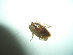 チャバネゴキブリが大量に・・・_e0063013_10154462.jpg