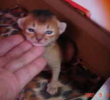 アビシニアン子猫1週間_e0033609_12282312.jpg