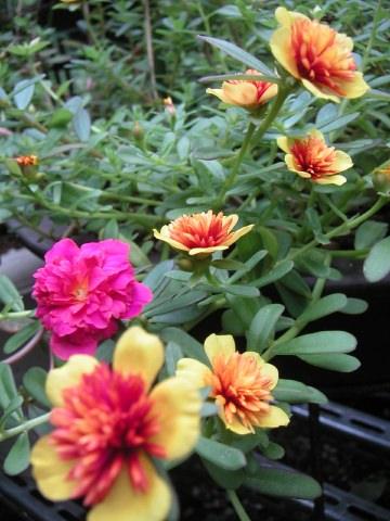 お庭の花の紹介です_b0033423_1622862.jpg