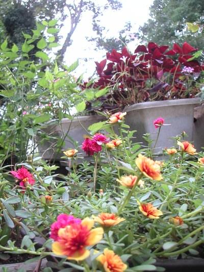 お庭の花の紹介です_b0033423_1624444.jpg