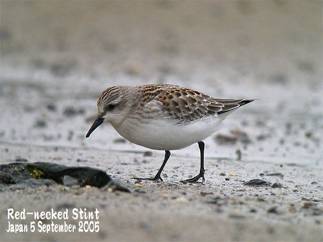 トウネン2 Red-necked Stint 2_c0071489_12171854.jpg