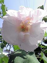 咲きながら色が変わる花_c0053520_14574210.jpg