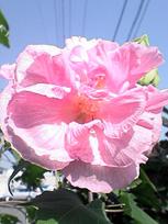 咲きながら色が変わる花_c0053520_1458139.jpg