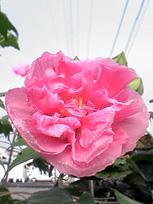咲きながら色が変わる花_c0053520_14583351.jpg