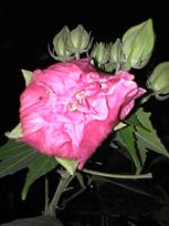 咲きながら色が変わる花_c0053520_14584595.jpg
