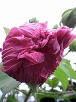 咲きながら色が変わる花_c0053520_1459146.jpg
