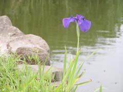 睡蓮と花菖蒲_e0071967_20513764.jpg