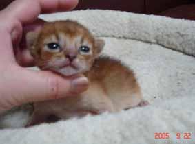 アビシニアン子猫11日目_e0033609_17584132.jpg