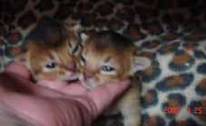 アビシニアン子猫1週間_e0033609_14194179.jpg