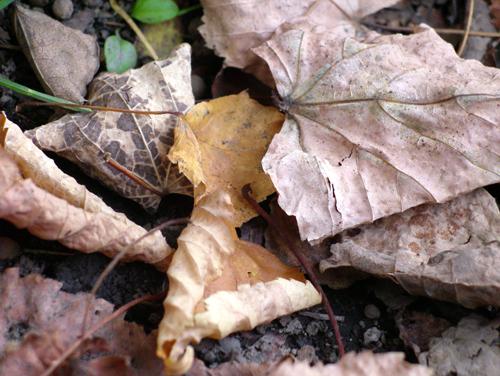 [小さい秋見つけた]いよいよ落ち葉の季節ですね_a0009562_2361644.jpg