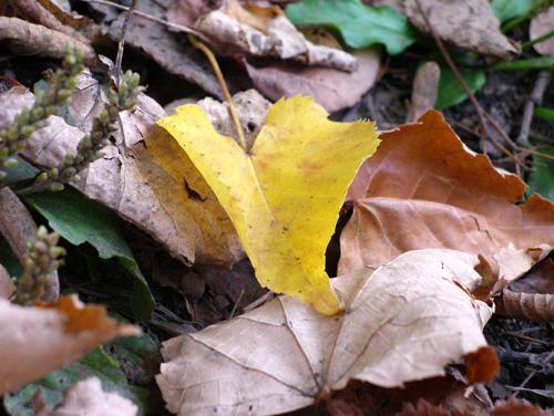 [小さい秋見つけた]いよいよ落ち葉の季節ですね_a0009562_236852.jpg
