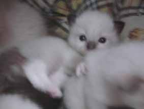 ラグドール子猫3週目_e0033609_13365348.jpg