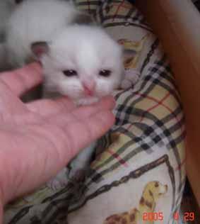 ラグドール子猫3週目_e0033609_13371794.jpg