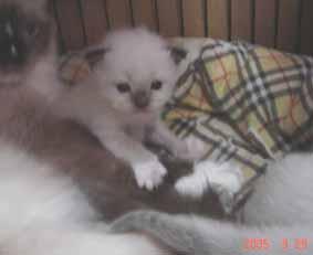 ラグドール子猫3週目_e0033609_13373394.jpg
