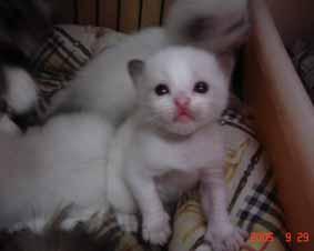 ラグドール子猫3週目_e0033609_13374659.jpg