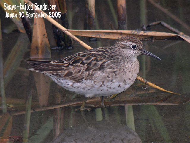 ウズラシギ Sharp-tailed Sandpiper_c0071489_22521976.jpg